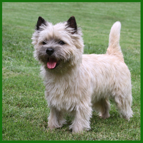 What's New - Runrig Cairn Terriers